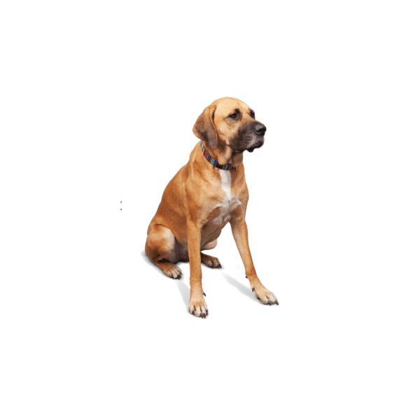Obroża ze skóry w kolorowe paski dla psa- BOLIWIA0